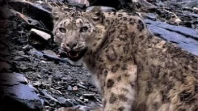 Snow Leopard - Beyond The Myth