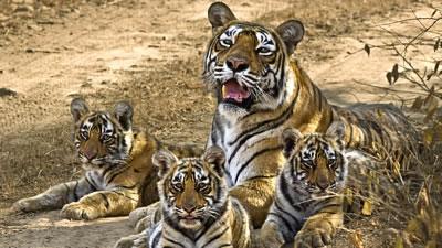 Queen of Tigers