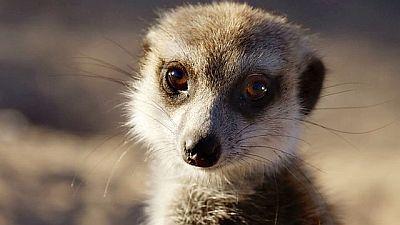 Meerkats: Secrets of an Animal Superstar